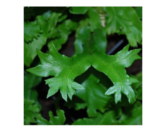 Asplenium scolopendrium 'Cristatum', détail d'une fronde multifurquée..