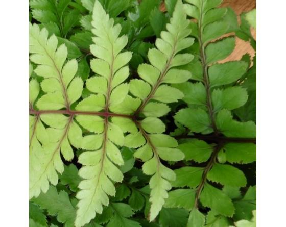 Athyrium otophorum var. okanum, jeune fronde de couleur crème, à nervures pourpre.