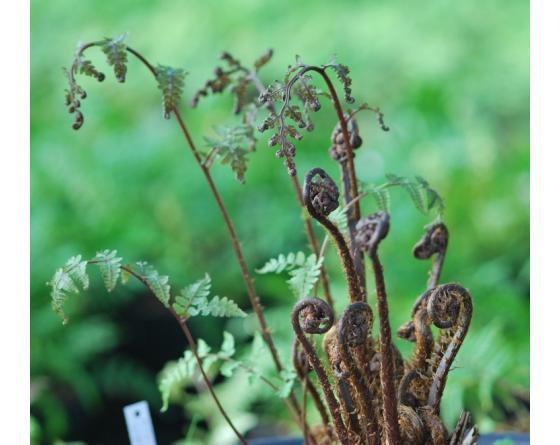 Athyrium vidalii.