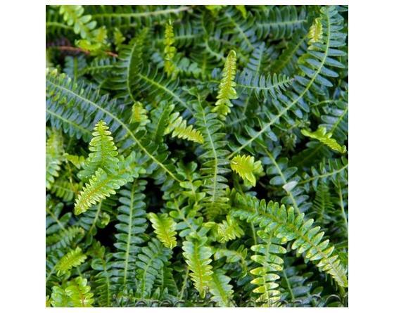 Blechnum penna-marina,  Austroblechnum penna-marina