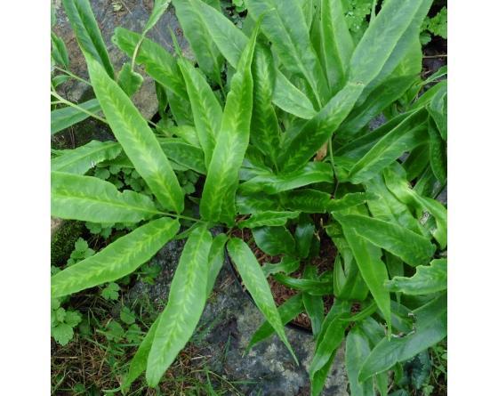 Coniogramme japonica 'Flavomaculata' Coniogramme japonica 'Variegata'