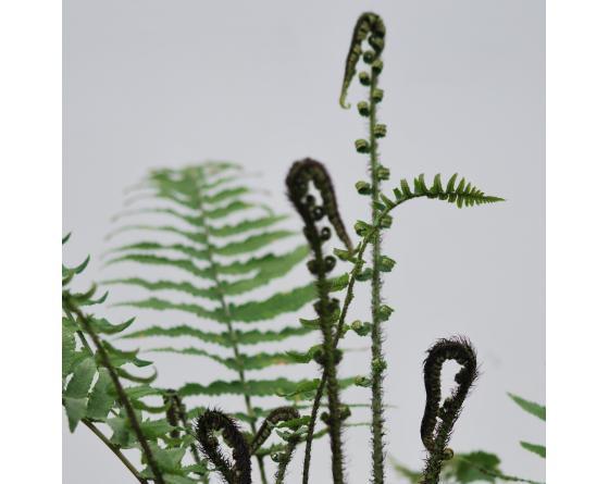 Dryopteris cycadina atrata