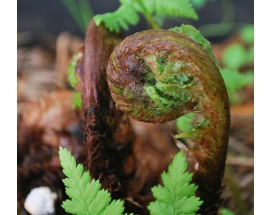 Dryopteris dilatata austriaca