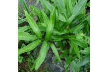 Coniogramme japonica 'Flavomaculata'