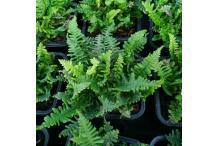 Dryopteris affinis 'Crispa Gracilis'
