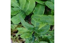 Dryopteris sieboldii