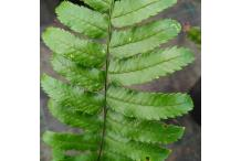 Dryopteris stenolepis