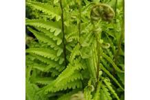 Dryopteris tokyoensis