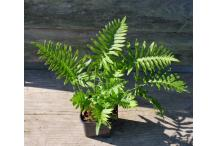 Polypodium 'Whitley Giant'
